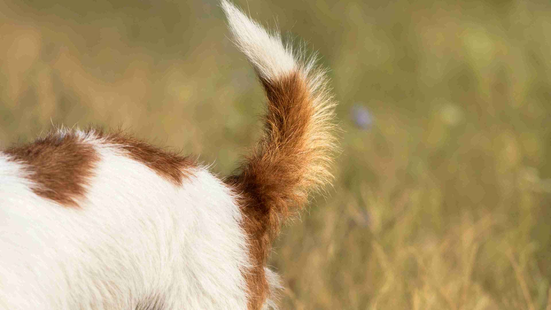 A dog's furry tail